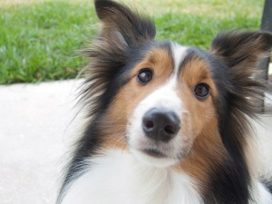 2009-12-31-jazz-sheltie