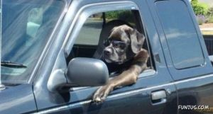 dogs_drive_cars_01